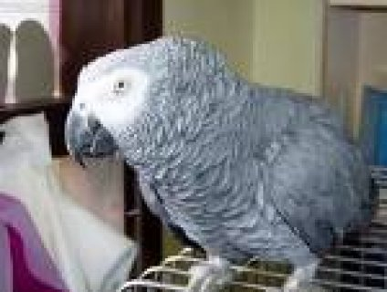 home trained african gray parrots for adoption