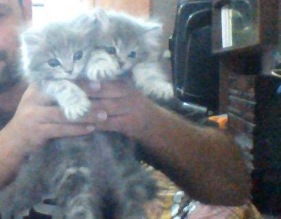 قطتين شيرازي لون رمادي للبيع