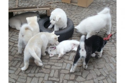 beautiful akc Akita puppies