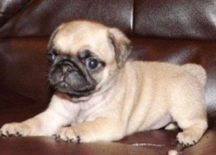 Amazing Pug Puppy