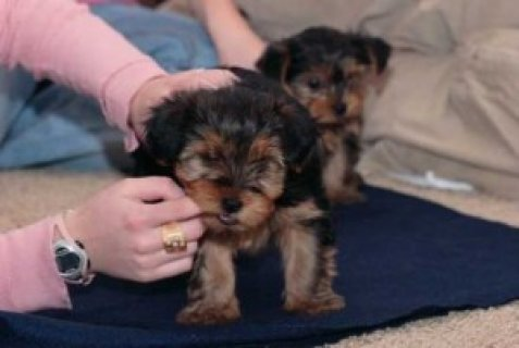 Teacup Yorkshire Terrier Puppies