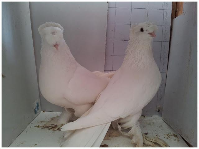 زوج حمام عداد للبيع