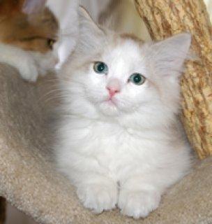 best RagaMuffin kittens