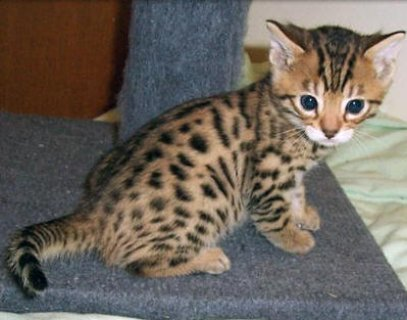 EExotic bengal kitten