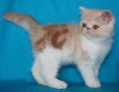 sAmerican Shorthair Kittens