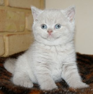 wWHITE GOOD LOOKING BRITISH KITTENS NOW AVAILABLE