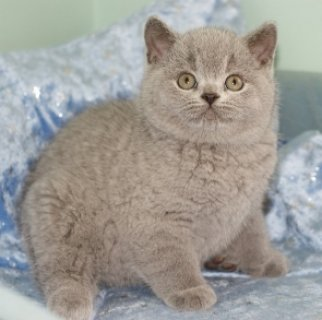 صور dLIGHTUP SHORTHAIR KITTENS LOOKING FOR REHOMING 2