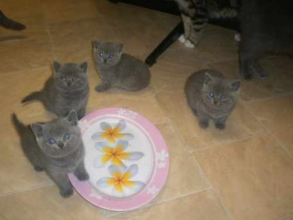 Blue British Shorthair kittens1