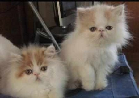 CFA PERSIAN AND HIMALAYANSb