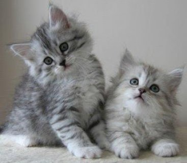 siberian kittens for re-homing to any lovely homes
