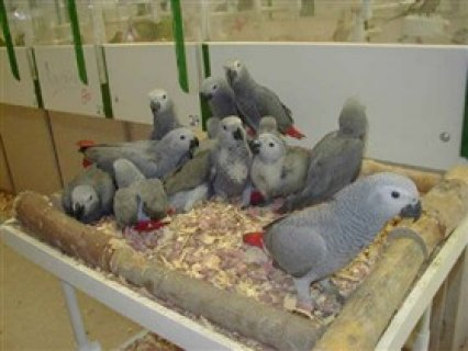 African Grey parrots and parrot eggs for saledr