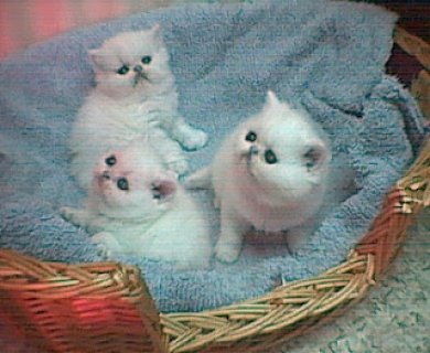 Registered great blood lines persian kittens,Pure bredSAA