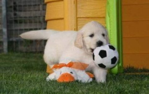 Playful Golden Retriever Puppies For A doption