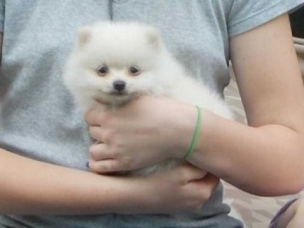 صور Cute Pomeranian Puppies for Re-homing 1