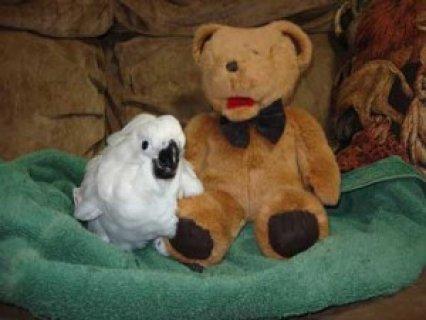 Umbrella Cockatoos Parrots for Adoption