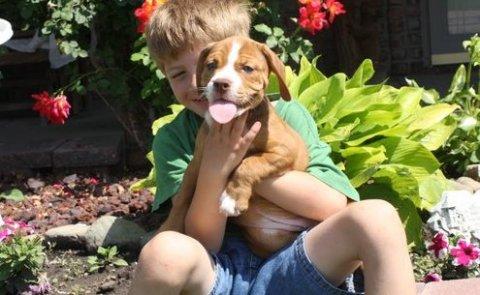 adorable english bulldog puppies for sale
