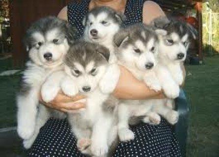 Cute Alaskan Malamute Puppies Available