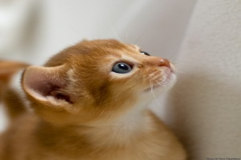 Charming Abyssinian Cats