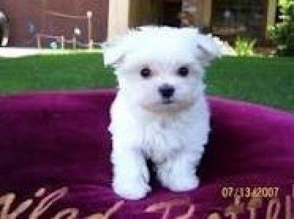 Amazing precious Maltese pups