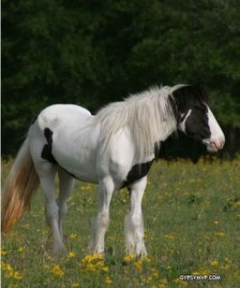 Gypsy Vanner Horse For Sale Male and Female