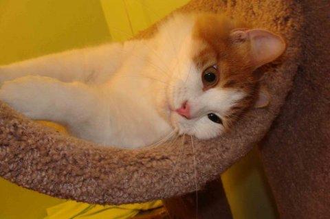 Siberian kitten LAP CAT w/lovely PERSONALITY