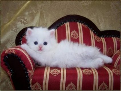 Cute Persian Kittens for Sale1