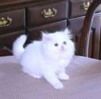 White & Solid colored Persian Kittens For adoptionw