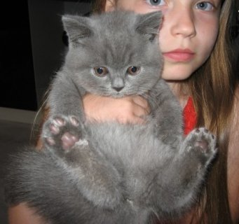 British Short Hair Kittens for Adoption4