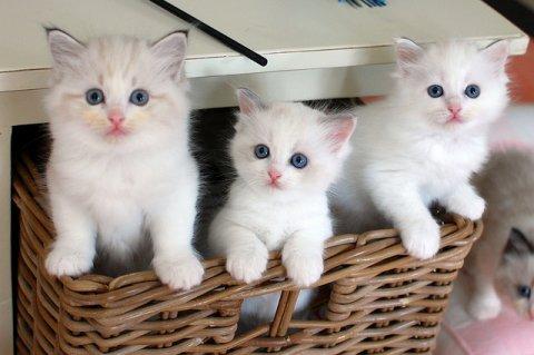 Sweet White Persian Kittens for adoption3