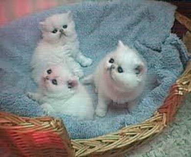 Persian kittens for sale2