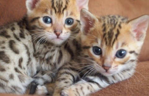 BENGAL KITTENS AVAILABLE78