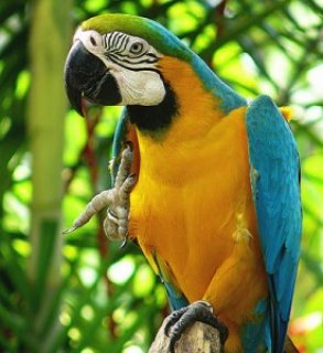 Blue & Gold Macawwerrg