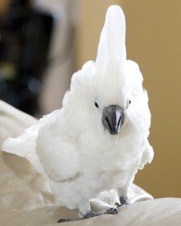 Cockatoo parrots for adoptionty