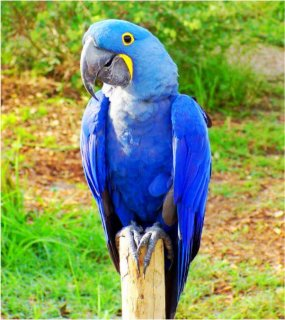 Well trained and Tamed Hyacinth Macaw parrots for adoptionqw