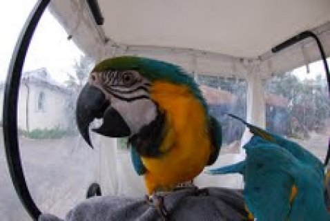 Blue and Gold Macaw Parrots out for adoption