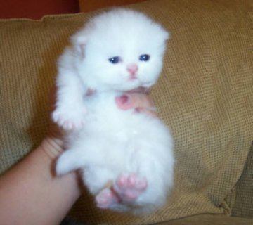 Cute White Persian female kitten for adoption90