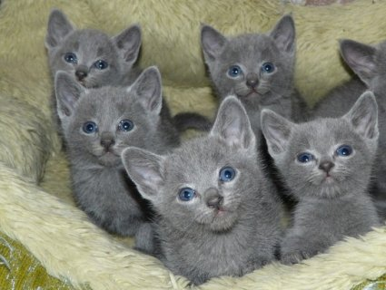 British short hair Kittens Available