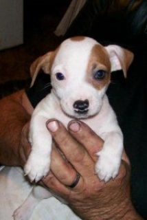 Lovely Jack Russell Terrier Puppies for Sale