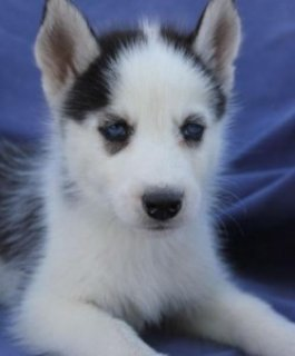 Awesome and Sweet Siberian husky for sale