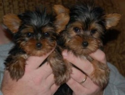 We are proud to announce that we have three Yorkie puppies ready