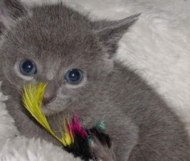 Russian Blue Kittenwe