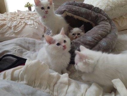 Snow White Ragdoll Kittens for good homes