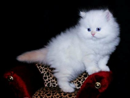 Teacup Persian Kittens For Sale.