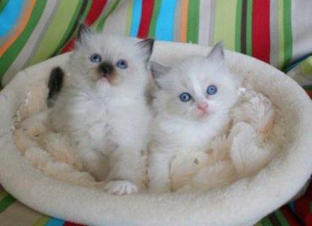 My Ragdoll Kittens for adoption
