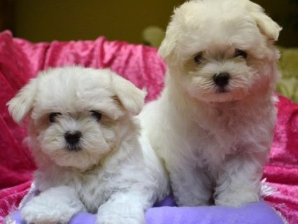 CUTE AND LOVELY MALTESE PUPPIES READY FOR ADOPTION