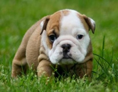 ***CUTE MALE AND FEMALE ENGLISH BULLDOG PUPPIES FOR ADOPTION***