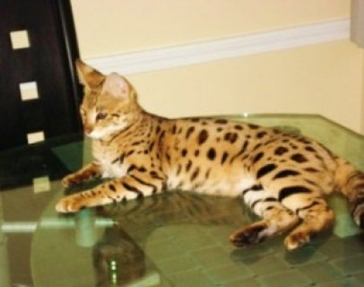 Registered serval kittens,Savannah Kittens and many other\'s for
