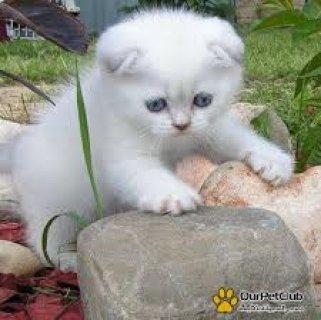 مطلوب قطة سكوتش