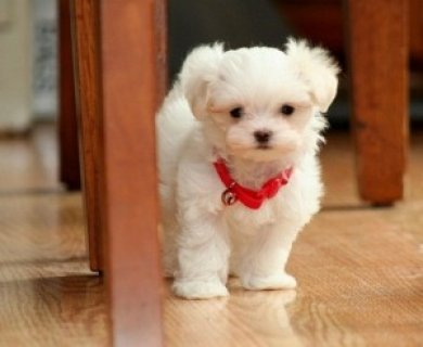 CUTE Maltese Pups Available