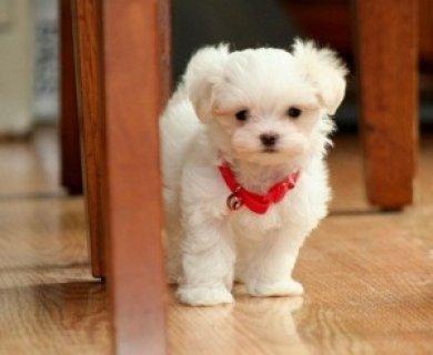 CUTE Maltese Pups Available